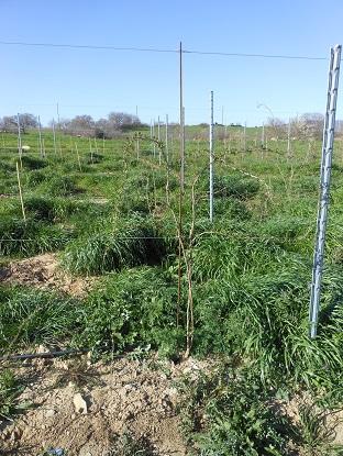 Gojiconsulenze agronomiche for Coltivazione goji